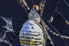 Banded-Argiope-spider