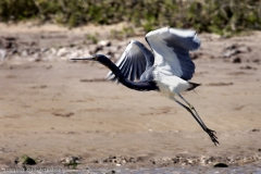 Tricolor-heron-taking-off_0024-7