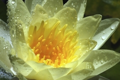 chromatella-waterlily-8