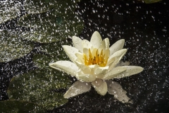 water-lily-splash-7869