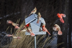 Cardinals at our bird feeder (yes, it's a composite image)